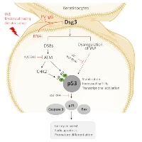 A Novel Regulatory Pathway of Desmoglein-3 in Keratinocyte Stress Response