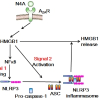 Activation of NLRP3 Inflammosome by N4-Acetyl Cytidine and Its Consequences