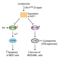 Cyclosporine Broadens the Therapeutic Potential of Lenalidomide in Myeloid Malignancies