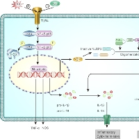 Dendorbium Nobile Lindl. Alkaloids Suppress NF-kB and NLRP3 Signaling Pathways to Attenuate Lipopolysaccharideinduced Neuroinflammation