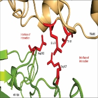 Design of a Peptide Against the Interaction Between Immune Response Protein TRAF5 and the Oncoprotein E6 from HPV