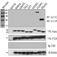 FOXP1 Interacts with MyoD to Repress its Transcription and Myoblast Conversion