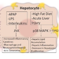 Function of Mitogen-Activated Protein Kinases in Hepatic Inflammation