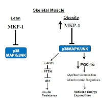 Improving Obesity and Insulin Resistance by Targeting Skeletal Muscle MKP-1