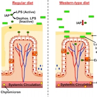 Intestinal Barrier Function – a Novel Target to modulate Diet-induced Metabolic Diseases