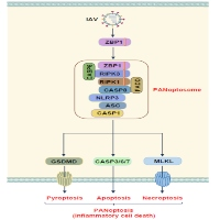 Newly Identified Function of Caspase-6 in ZBP1-mediated Innate Immune Responses, NLRP3 Inflammasome Activation, PANoptosis, and Host Defense