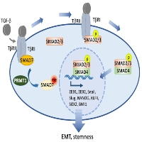 PRMT1-catalyzed SMAD7 Arginine Methylation Bridges EMT and Stemness
