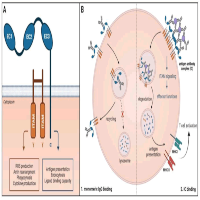 Targeting the High Affinity Receptor, FcγRI, in Autoimmune Disease, Neuropathy, and Cancer