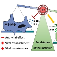 The Dual Role of Macrophages during Hepatitis B Infection