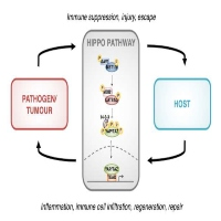 The Hippo Pathway, Immunity, and Cancer: An update
