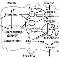 The Link of Nutrient Fluxes to Hepatic Insulin Resistance at Gene Expression